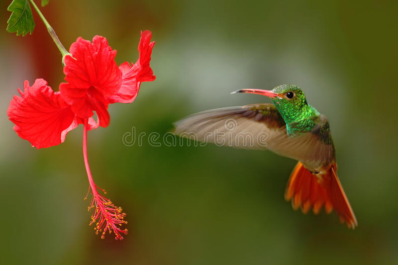 Bird from Ecuador. Rufous-tailed Hummingbird, Amazilia tzacatl, bird fling next to beautiful red rose hibiscus flower in neture ha stock photos