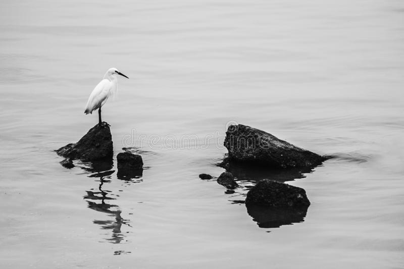 The bird, egret standing on the reef on the sea stock image