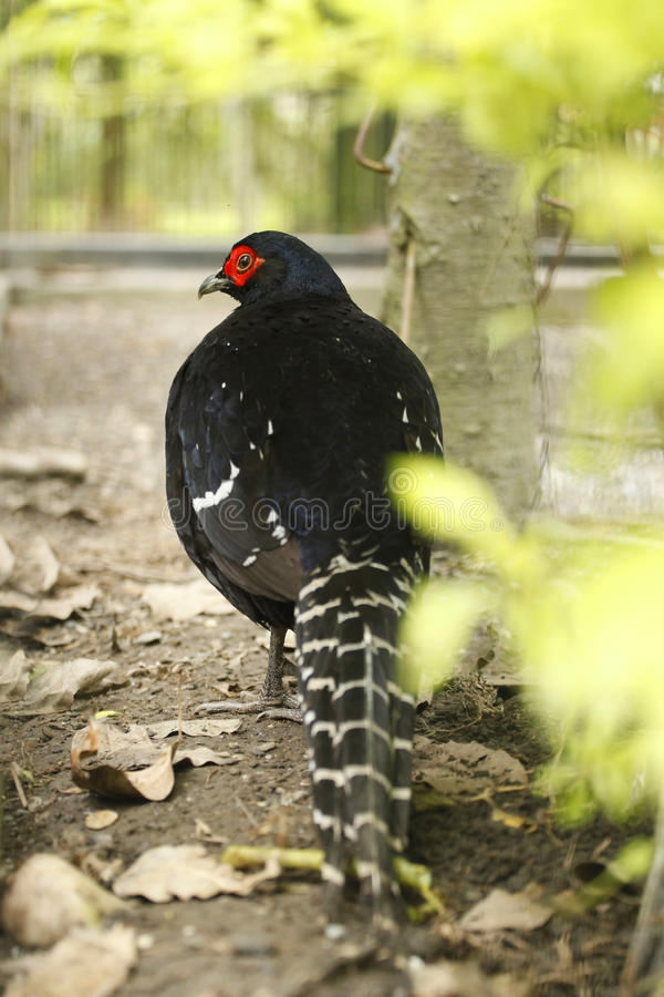 Download Bird, endangered species stock photo. Image of pheasant - 12791554
