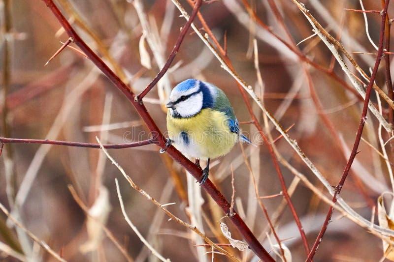 Bird - Eurasian Blue Tit  Cyanistes caeruleus  sitting on a branch of a tree. royalty free stock photography