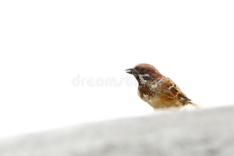(Bird) Eurasian Tree Sparrow on white background. (Bird) Eurasian Tree Sparrow isolate on white background royalty free stock image