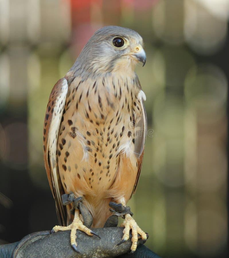 Bird, Falcon, Beak, Fauna royalty free stock photo