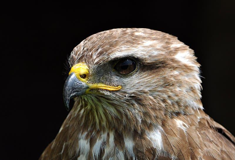 Bird - falcon. Detailed view of a bird - falcon royalty free stock photos