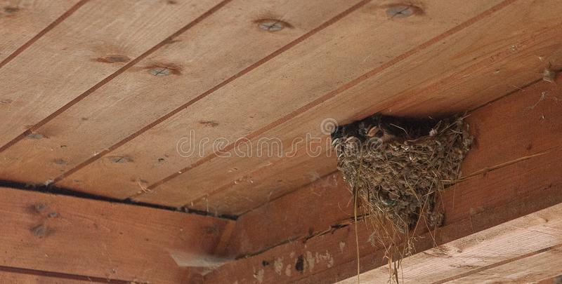 Swallow Protecting It´s Nest Stock Image - Image of plants ...