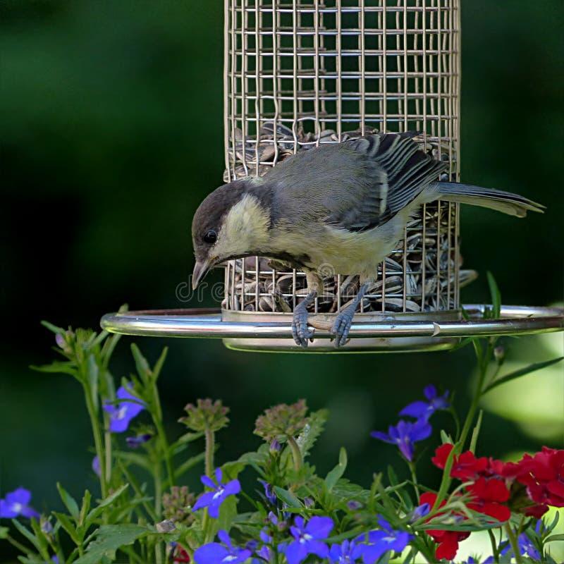 Bird, Fauna, Beak, Bird Feeder royalty free stock photo