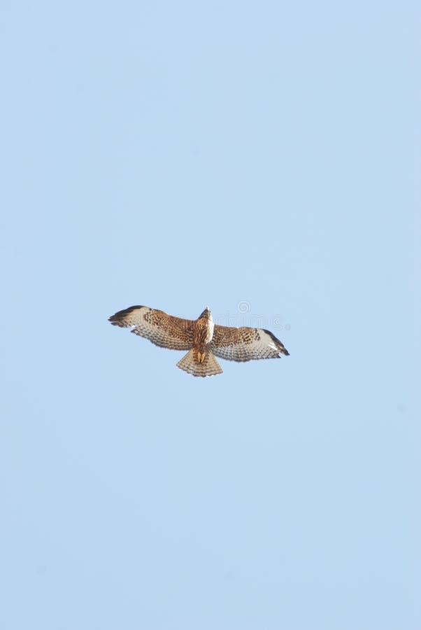 Bird, Fauna, Buzzard, Accipitriformes Free Public Domain Cc0 Image