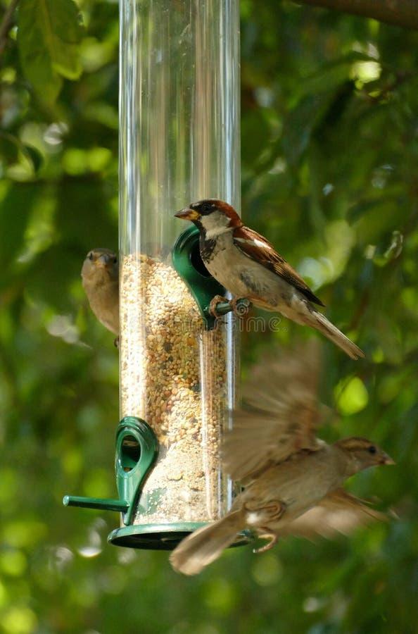 Bird, Fauna, Bird Feeder, Beak royalty free stock image