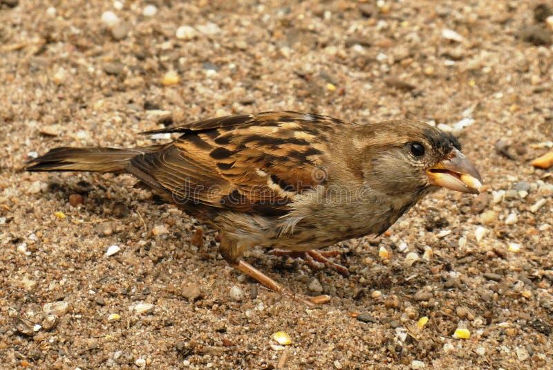 Bird, Fauna, Sparrow, Beak Free Public Domain Cc0 Image