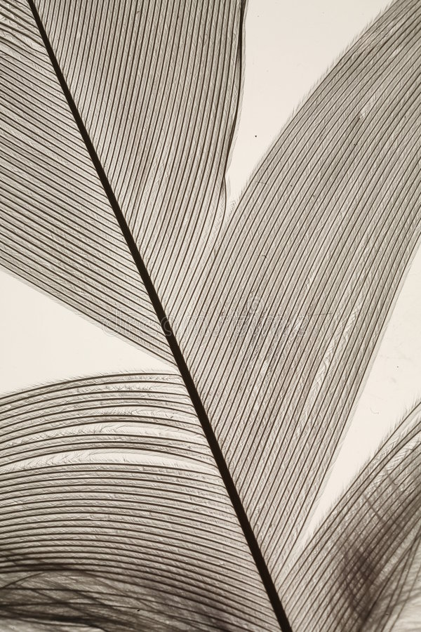 Bird Feather Closeup Royalty Free Stock Images