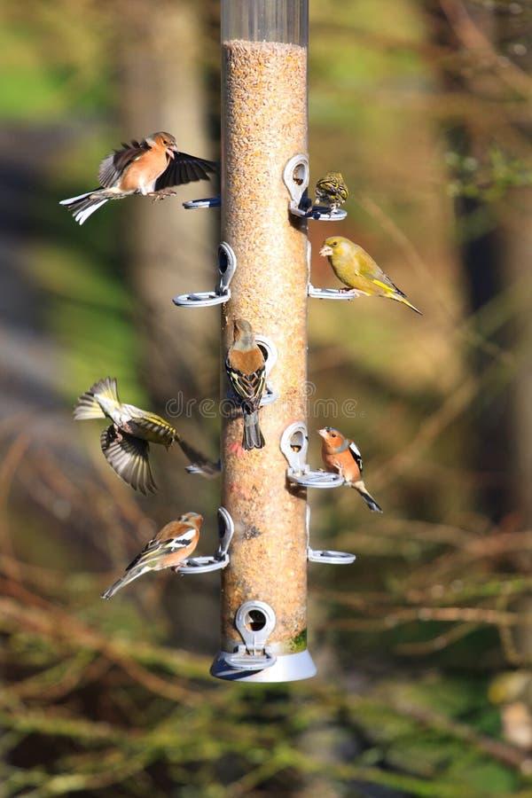Bird feeder. Chaffinchs and Greenfinchs on a bird feeder royalty free stock photo