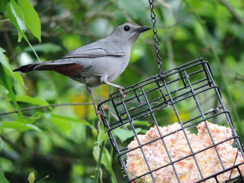 Bird on a feeder. Catbird hanging out on a bird feeder royalty free stock images