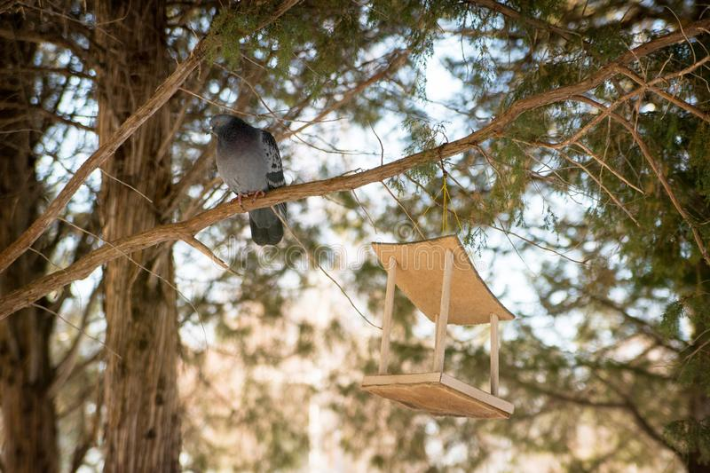 Bird feeder hanging on a tree in a coniferous forest in the Park. Pigeon sitting on a branch royalty free stock photo