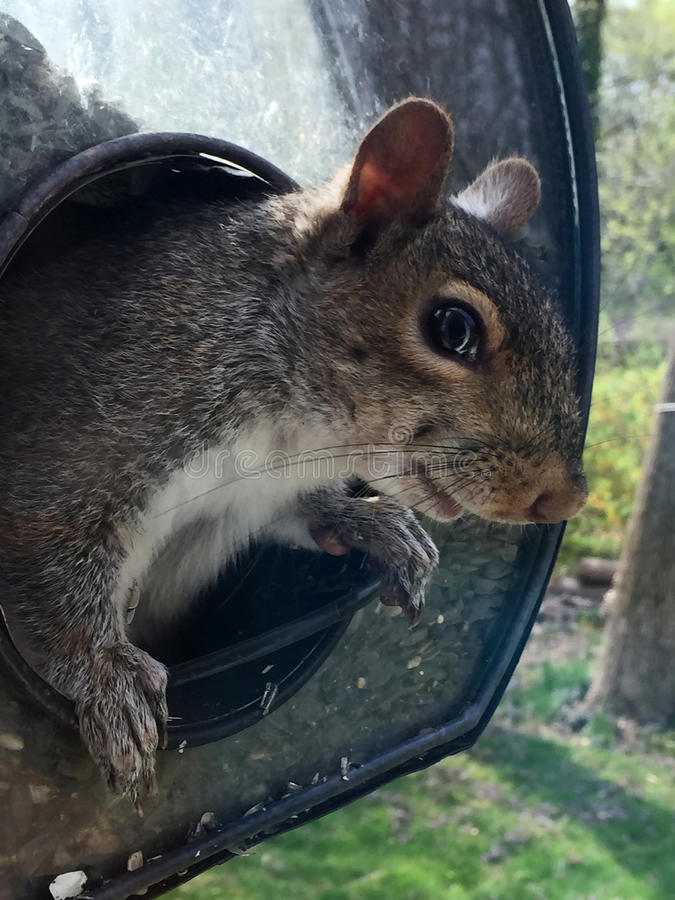 Bird feeder thief. Gray Squirrel on Bird feeder with sneaky expression. Cute but kind of rat like royalty free stock photography