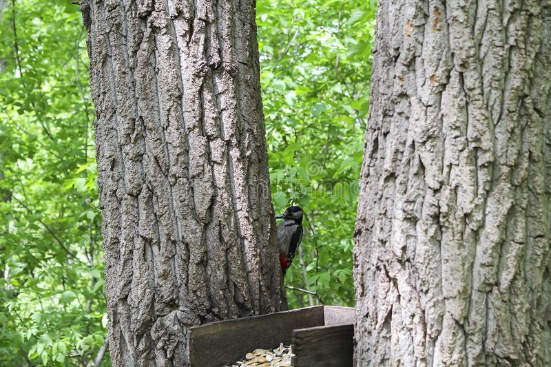 A bird feeder between the trees. A woodpecker sits on the tree royalty free stock image