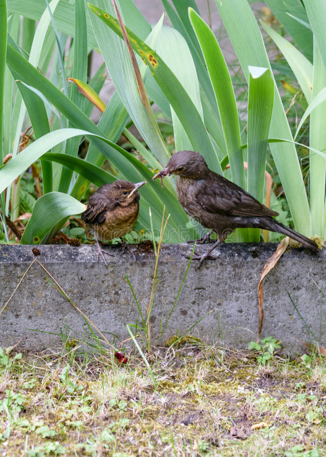 The bird feeds the chick that flew out of the nest. Common blackbird. Turdus merula. Animalistic. A photo of wild animals in a natural habitat. Photohunting royalty free stock photo