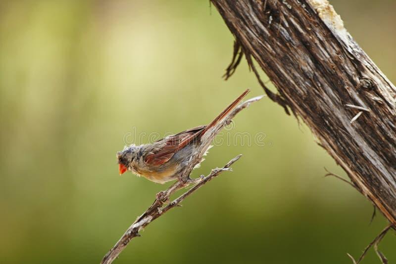 Bird. Female cardinal molting stock photo