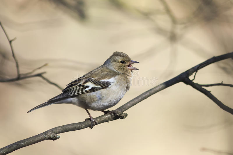 The bird is a female Chaffinch singing in the forest in spring stock images