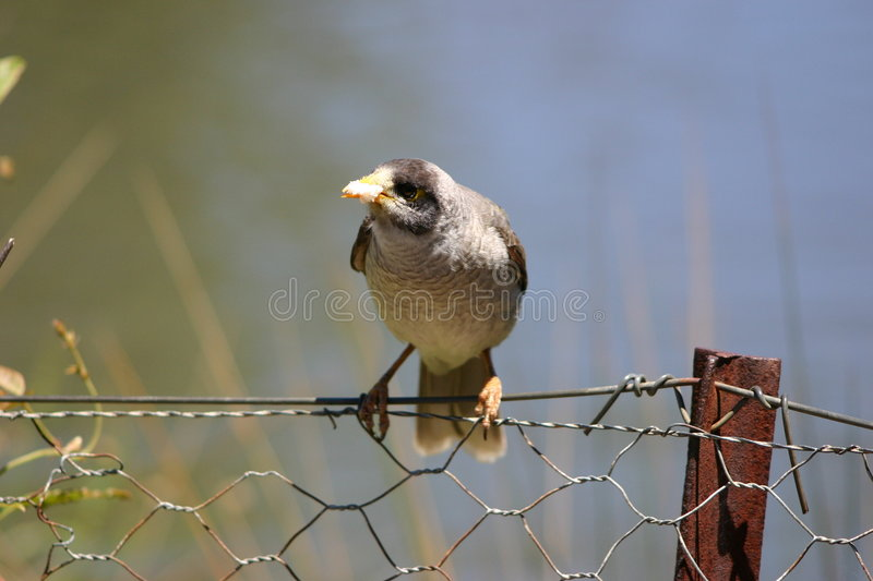 Bird On Fence Stock Photography