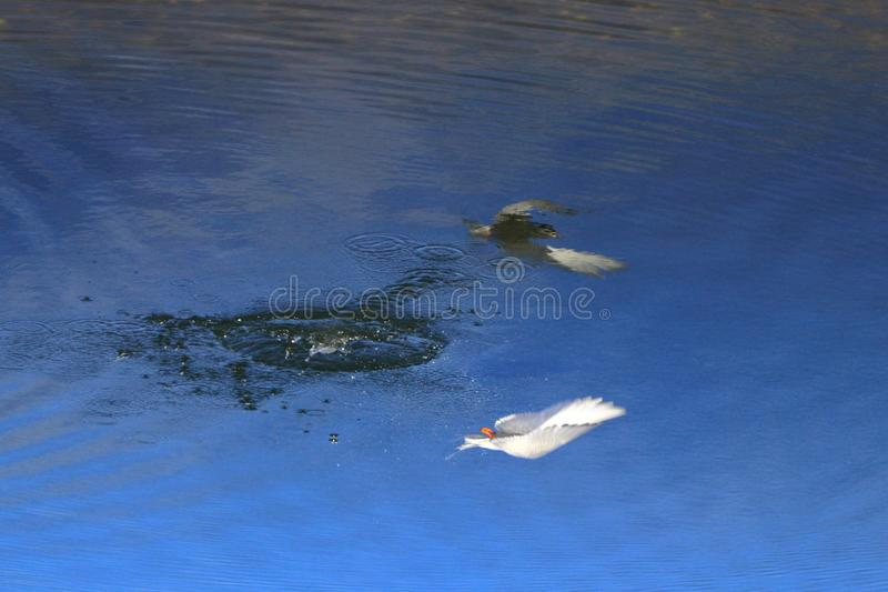 Bird fishing and reflecting in the water stock images