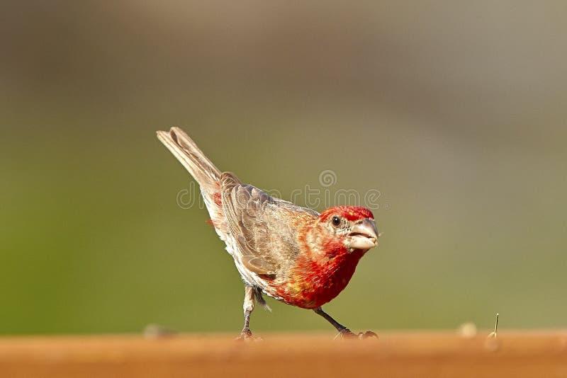 Bird. Fledgling red brown tan cardinal stock images