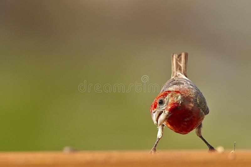 Bird. Fledgling red brown tan cardinal stock image
