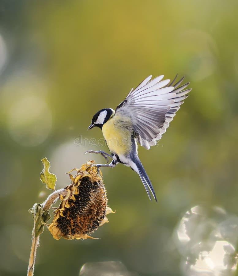 Bird flies to the flower of the sunflower seeds and eagerly bit. Little bird flies to the flower of the sunflower seeds and eagerly bite stock photography