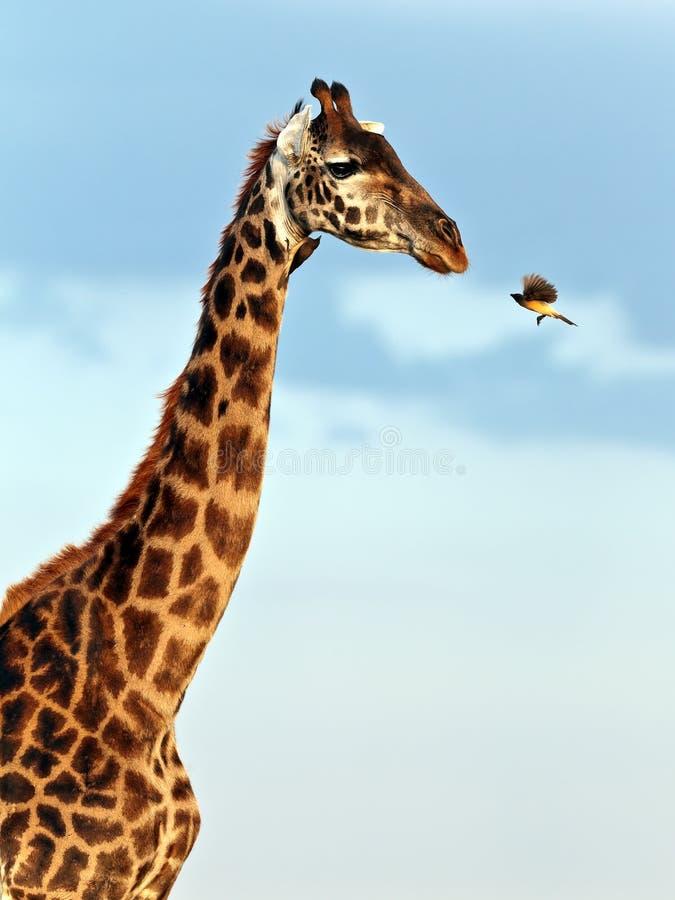 Free Bird Flies To Muzzle Giraffe Stock Photo - 15610960