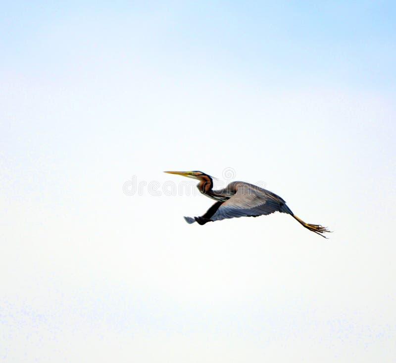 Download Bird in flight stock image. Image of outdoor, closeup - 11585387