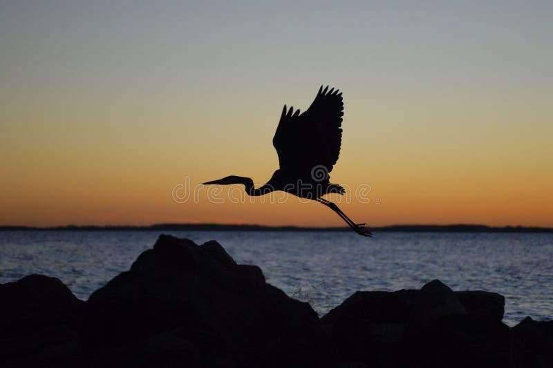 Bird in Flight royalty free stock photo