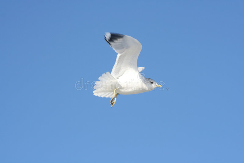 Bird in Flight stock images