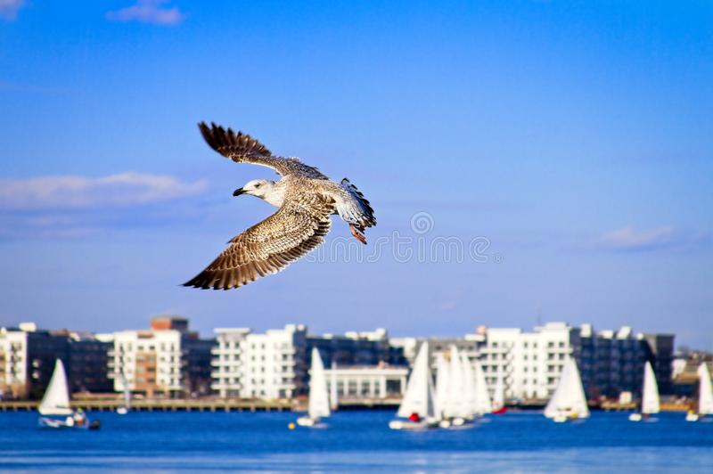 Bird in flight by the Boston Harbor during winter royalty free stock images
