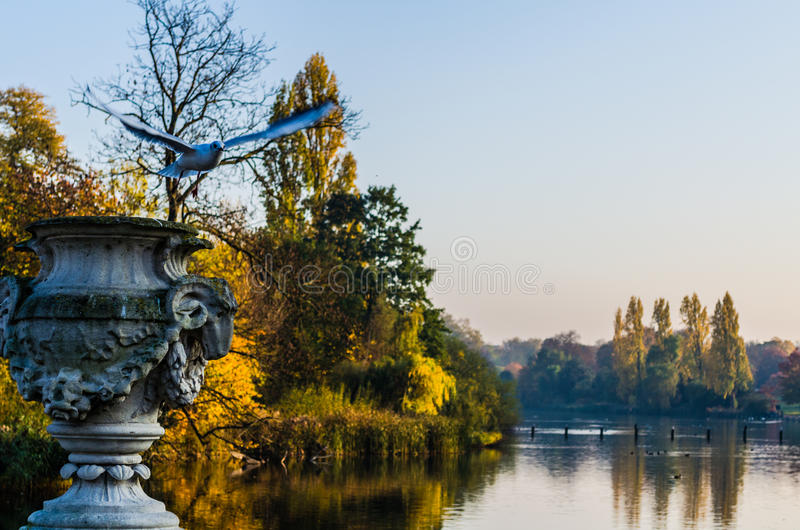 Bird in flight at the Serpentine Lake in Hyde Park. Hyde Park, one of the Royal Parks, in autumn stock photo
