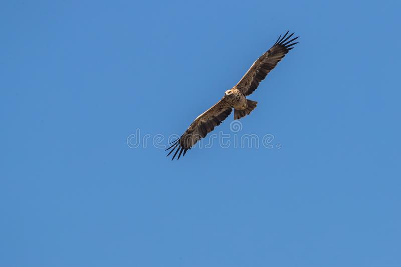 Bird in flight - Imperial Eagle Aquila heliaca stock images