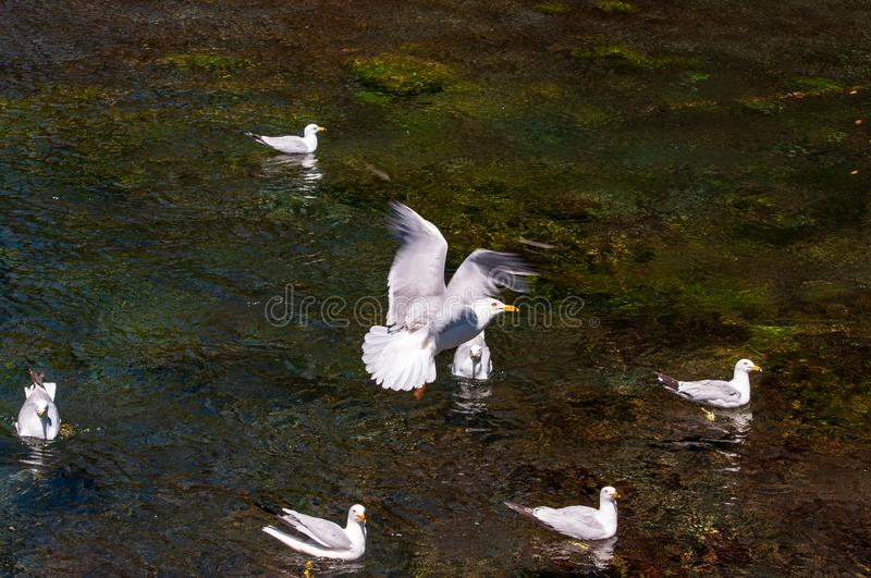 Bird in flight over Big Springs Idaho. Bird in flight over birds swimming in the clear waters at Big Springs Idaho stock photos