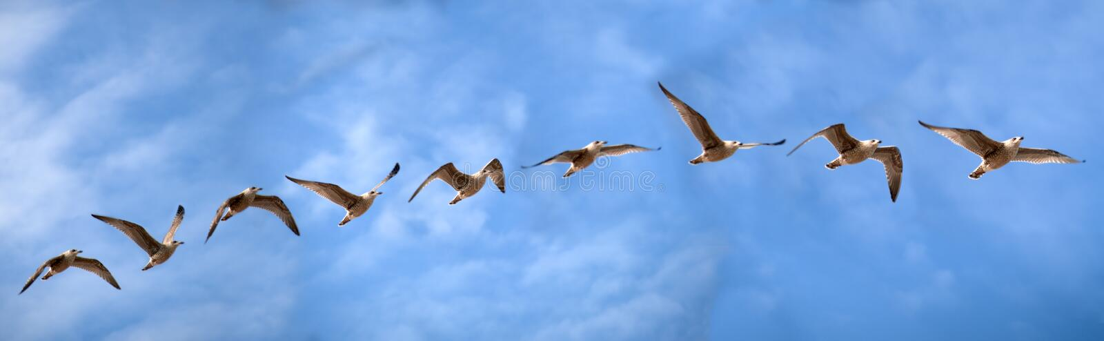 Bird flight study of a sea gull. Of the genus Dormant Gull with the flight movements of the wings in front of blue light cloudy sunny sky over the Baltic Sea royalty free stock images