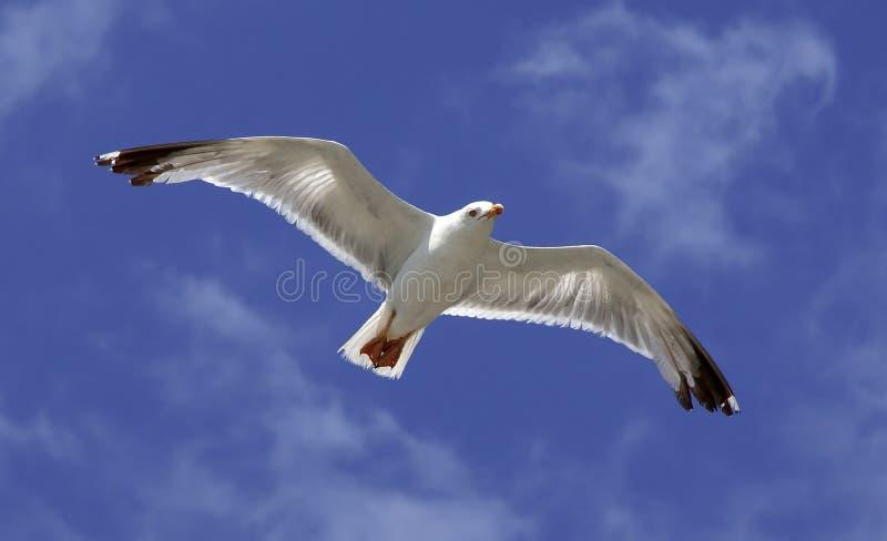 Bird fly on blue sky. Seagull royalty free stock photography