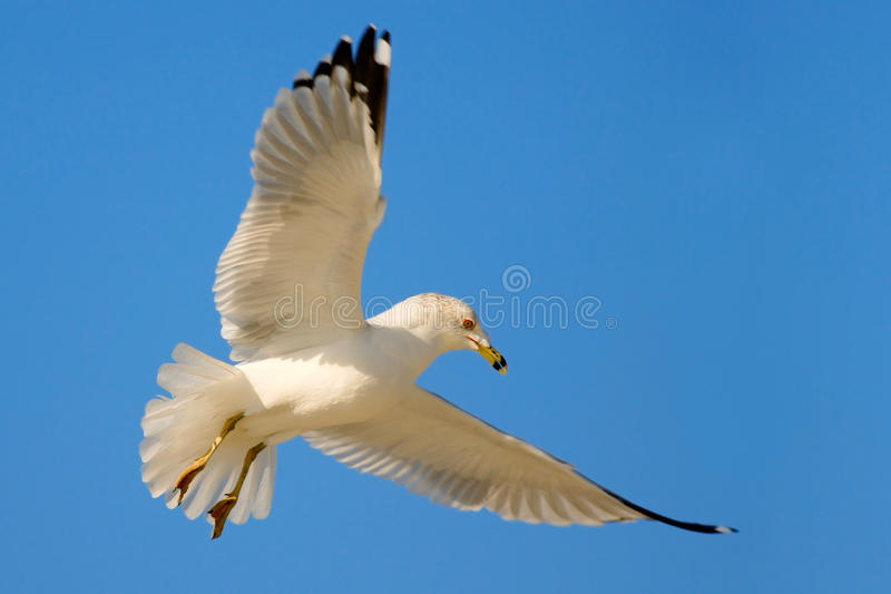 Bird in fly with blue sky. Ring-billed Gull, Larus delawarensis, from Florida, USA. White gull in flight with open wings. Action royalty free stock image
