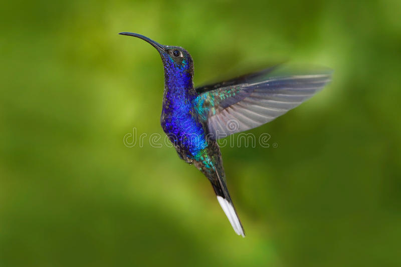 Bird in fly. Flying hummingbird. Action wildlife scene from nature. Hummingbird from Costa Rica in tropic forest. Flying big blue. Bird stock photo
