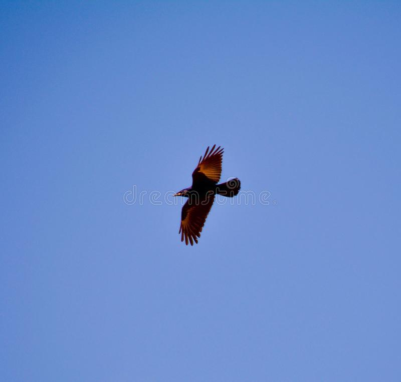 Bird in flying. Bird, blue sky, fly royalty free stock photo