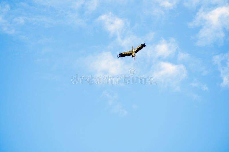 Bird flying on cloudy sky in morning. Bird flying on cloudy sky in morning sun shine stock photos