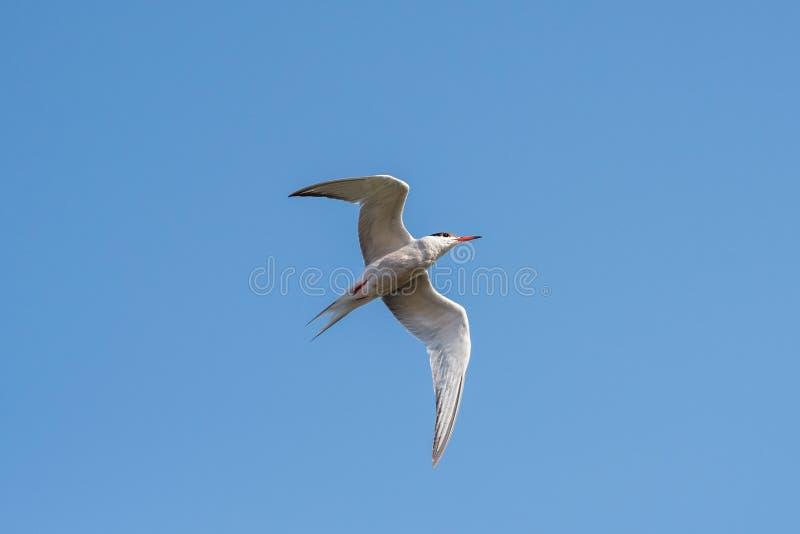 Bird flying. The common tern Sterna hirundo is a seabird in the family Laridae. Chyornye Zemli Black Lands Nature Reserve, Kalmykia region, Russia royalty free stock photography
