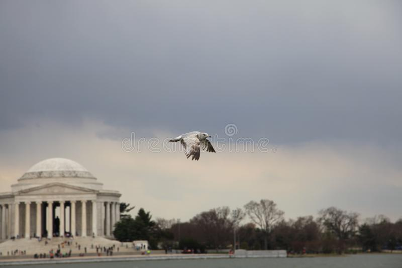 A bird is flying over blurred jefferson memorial stock images