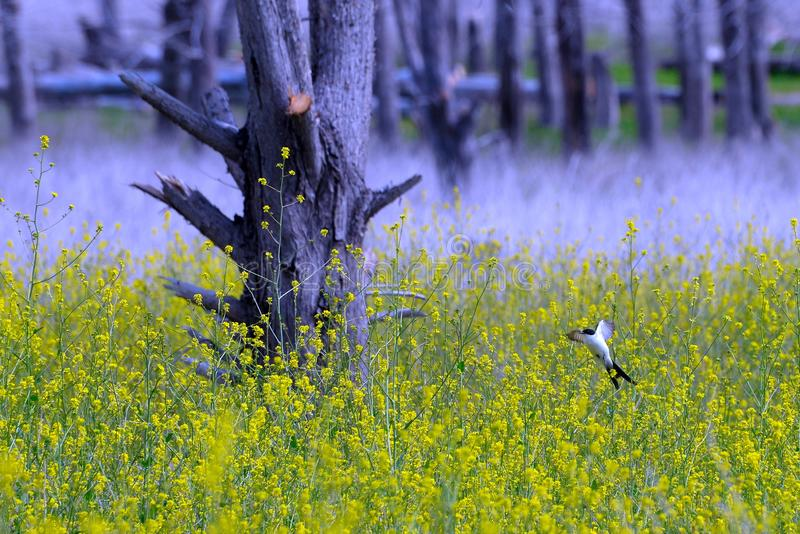 Bird flying over a field of yellow flowers royalty free stock image