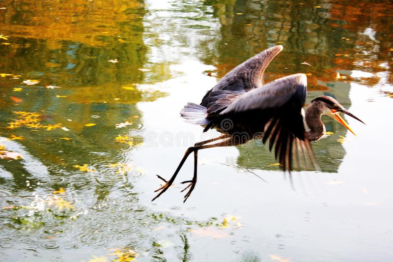 Bird flying over a lake in Central Park, New York City stock images