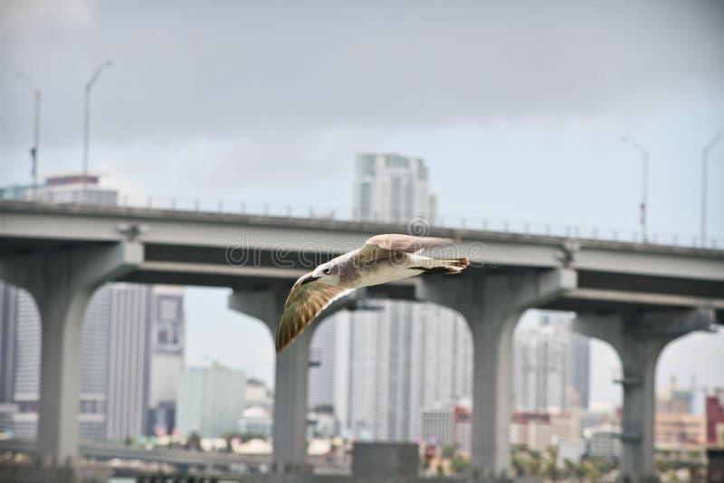 Bird flying over Miami stock photo