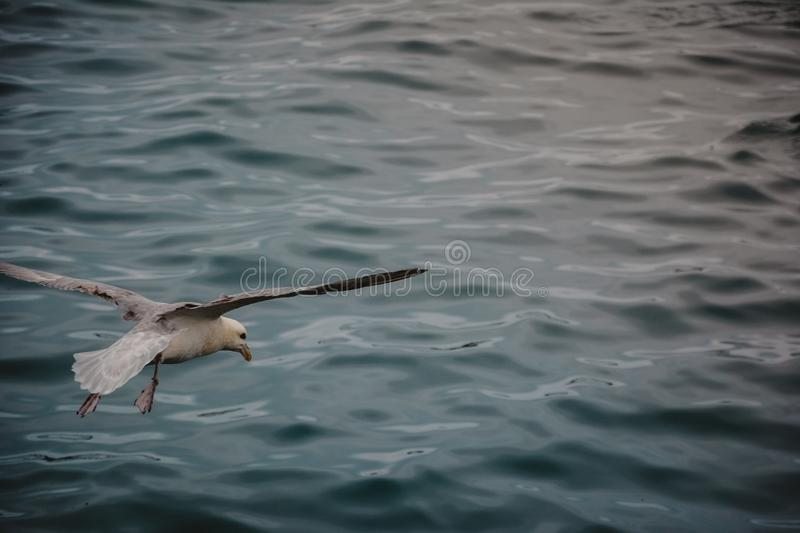 Bird flying over sea on overcast cloudy summer day with wings wi royalty free stock photography
