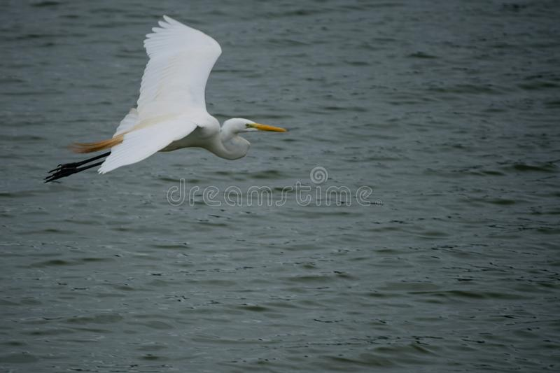 Bird flying over water royalty free stock photo