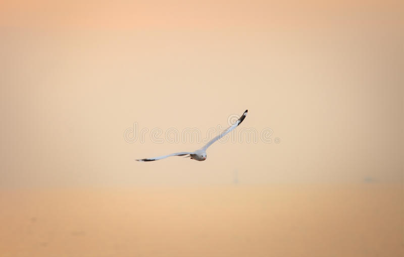 Bird Flying Seagull on sunset Sky Symbol of Freedom Concept royalty free stock photography