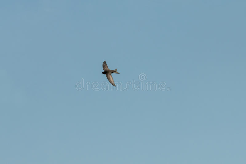 Bird flying. Swift Bird flying against a clear blue sky royalty free stock photo