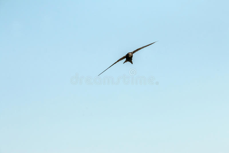 Bird flying. Swift Bird flying against a clear blue sky stock images